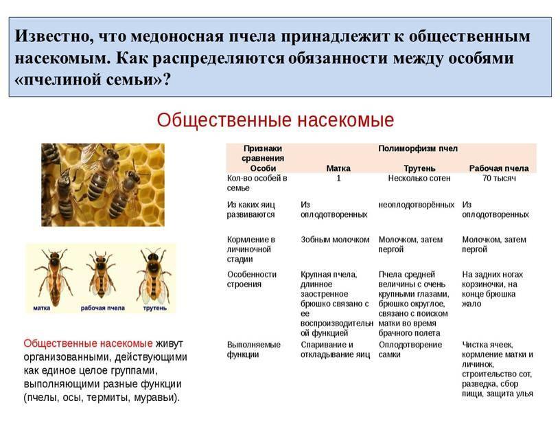 Пчеловодство. особенности медоносных пчел. — agroxxi