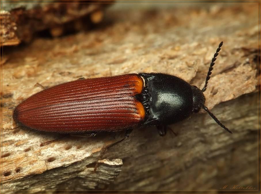 Капровый жук: выявляем вредителя и боремся с ним