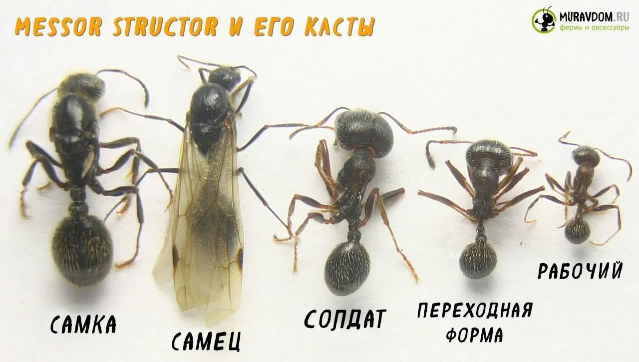 Содержание_уход:содержание_видов:messor_structor [antclub.org wiki]