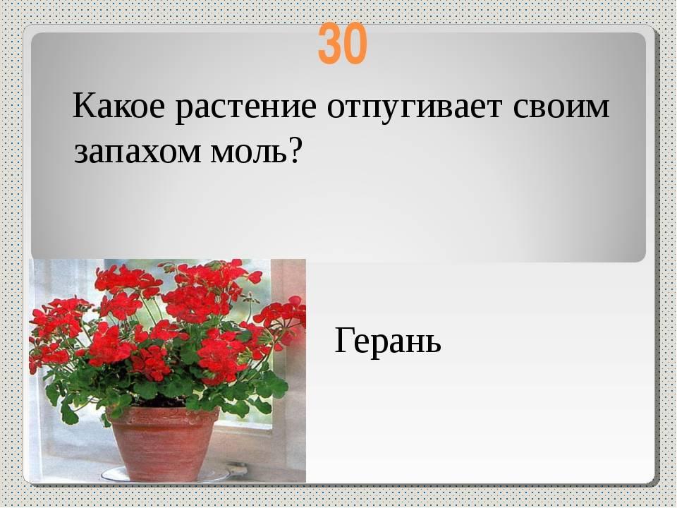 Какой цветок отпугивает моль?