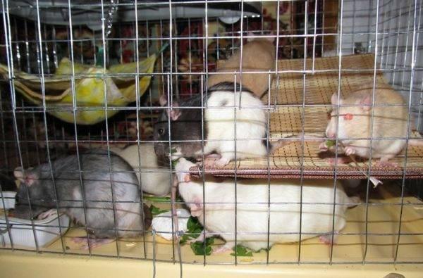 [новое исследование] сколько живут крысы: дикие, декоративные и домашние, продолжительность жизни в домашних условиях