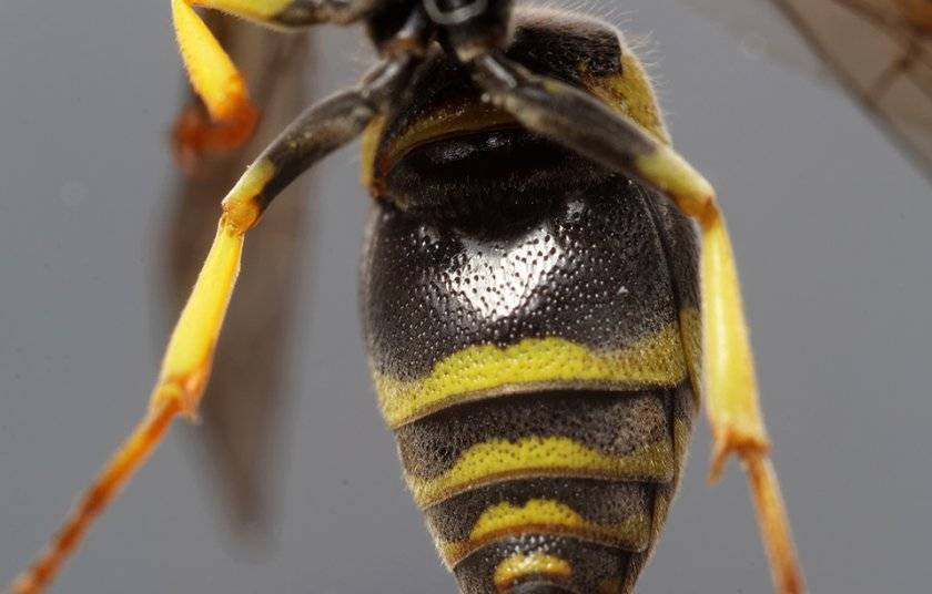 Матка осы – особенности поведения и жизненный цикл основательницы колонии. где зимуют осы куда же они исчезают осенью