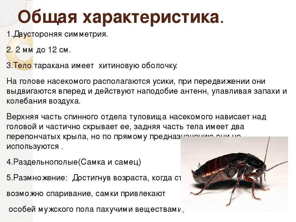Рыжие тараканы: описание вида с фото, сколько живут, чем питаются, как избавиться от них в квартире русский фермер