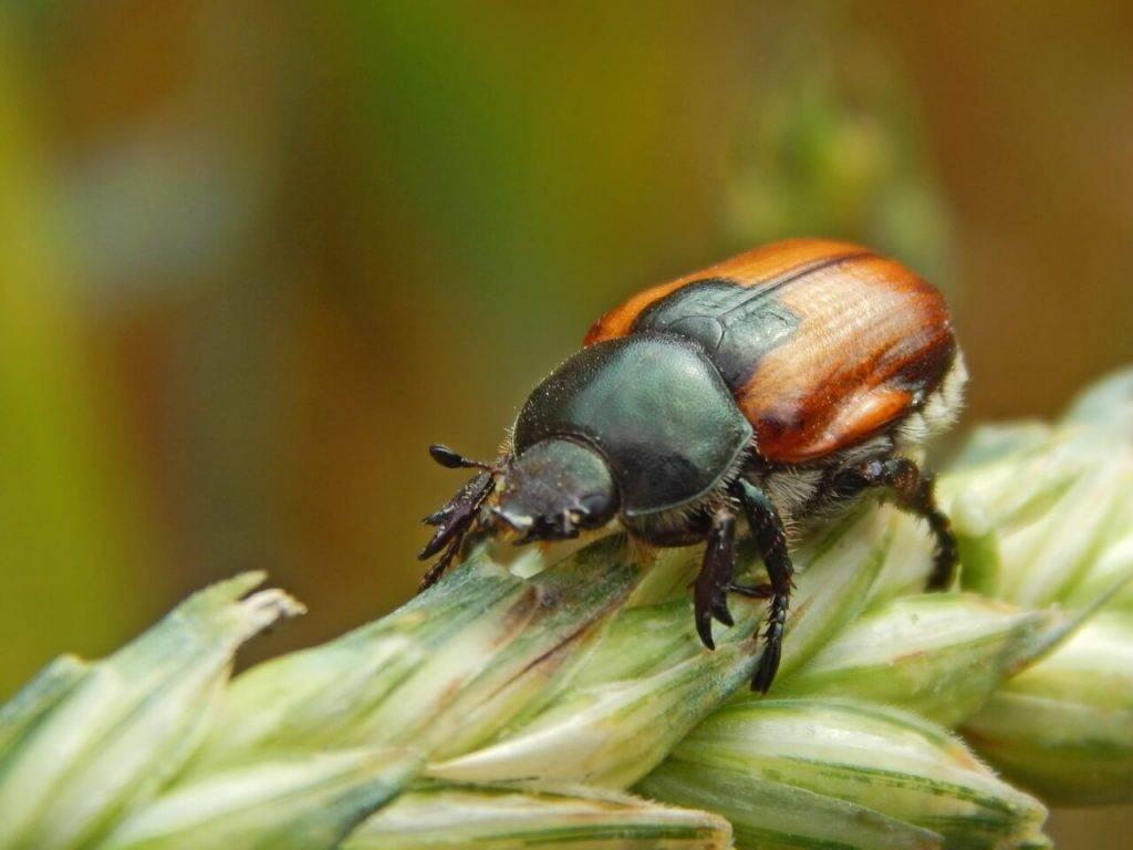 Жук кузька: места обитания и методы борьбы с вредителем
