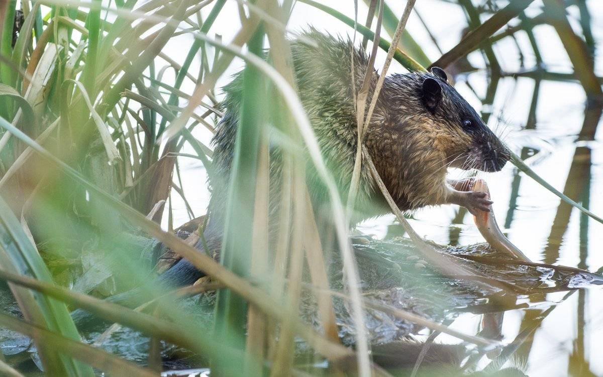 Как навсегда избавиться от земляной крысы в саду и огороде