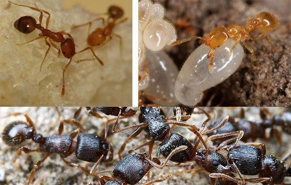 Применение препарата черный муравей для повышения потенции у мужчин