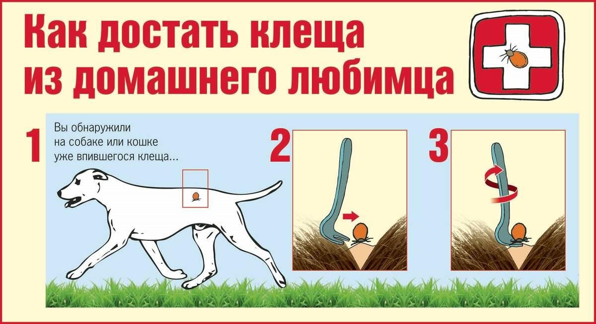 Как вытащить клеща у собаки в домашних условиях: основные правила, алгоритм действий, применение пинцета и шприца