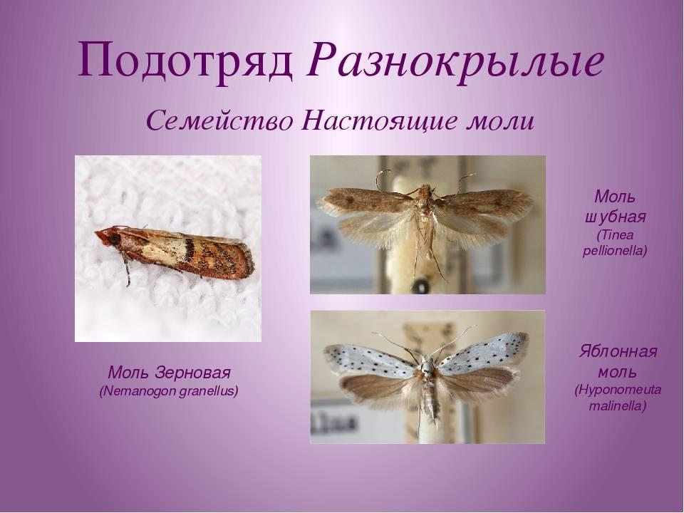 Моль (насекомое): как выглядит, виды, сколько живет, как размножается в домашних условиях?