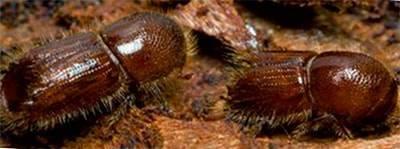 Короед шестизубый: образ жизни и особенности развития вредителя сосен
