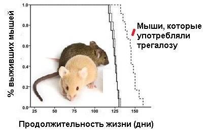Сколько живут домашние крысы?