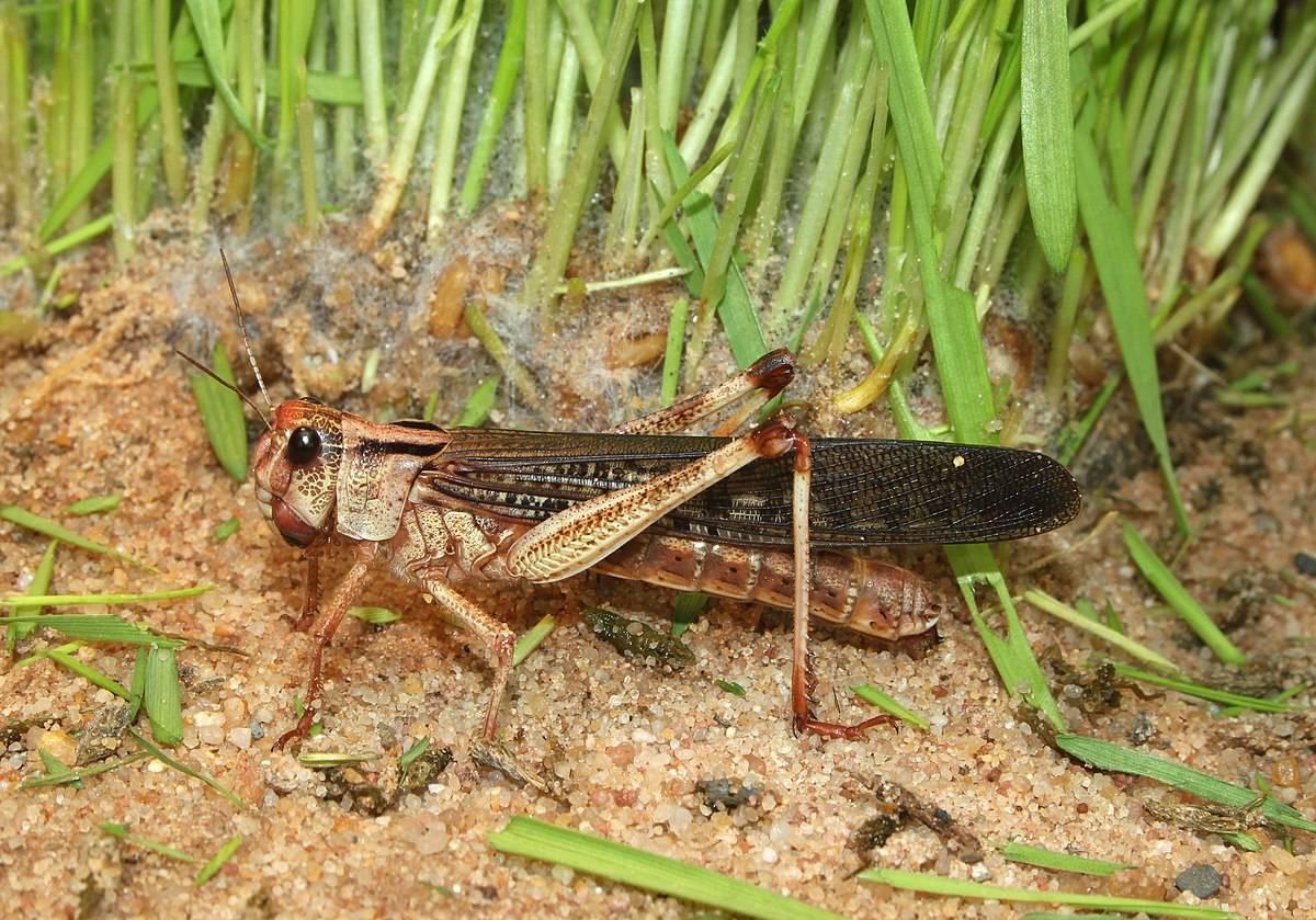 50 интересных фактов о саранче — общенет