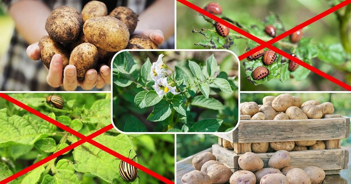 Варианты средств от колорадского жука на картофеле: самые эффективные