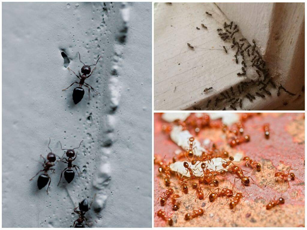 Как навсегда избавиться от рыжих муравьев в квартире