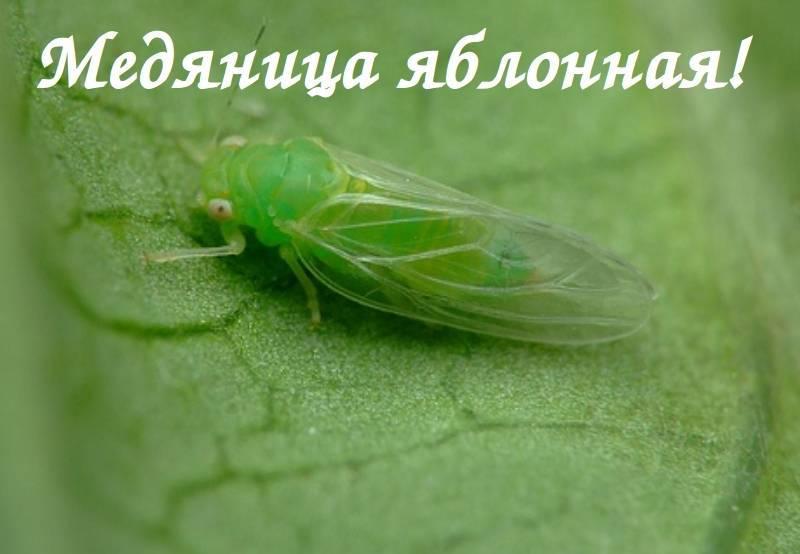 Яблонная медяница - факторы риска и меры борьбы