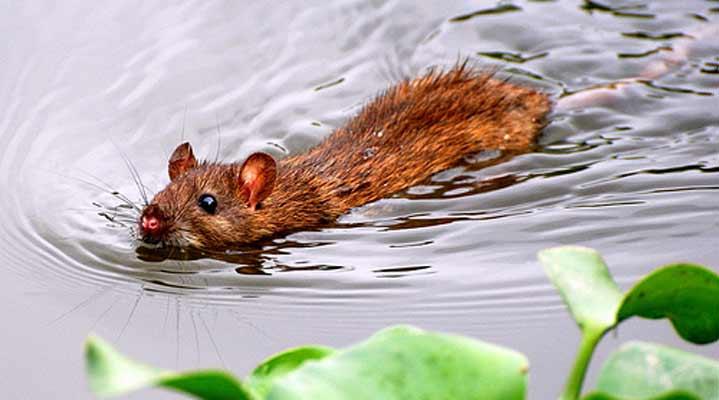 Умеют ли морские свинки плавать в воде [новое исследование]