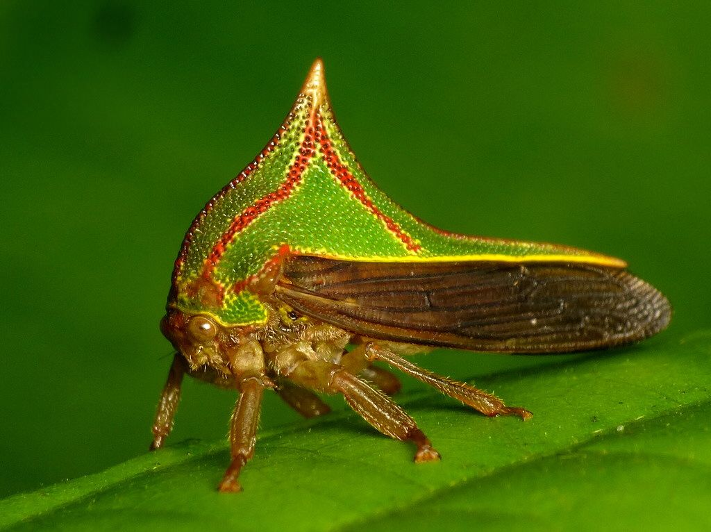 """Презентация на тему: """"цикады хорошо приспособлены к питанию соками растений. продолговатая голова причудливой формы характерна для цикадок семейства fulgoridaeв частности для."""". скачать бесплатно и без регистрации."""
