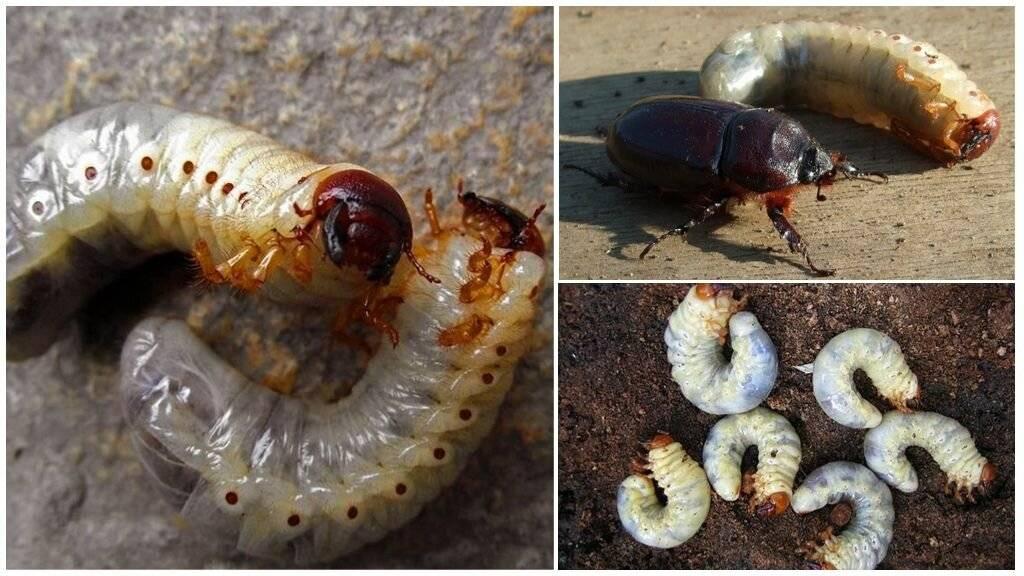 Борьба с личинками майского жука на клубнике: чем и когда обработать