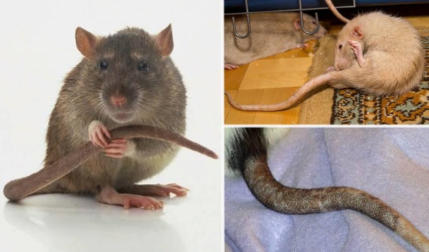 Зачем крысам длинный лысый хвост