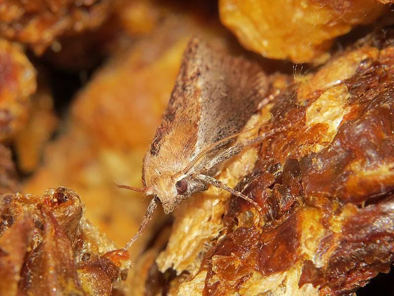 Бабочка огневка, лечение. какие заболевания лечит восковая моль