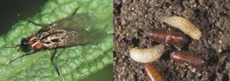 Малиновая или малинная стеблевая муха и борьба с ней