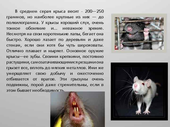 Как видят крысы в темноте и при свете