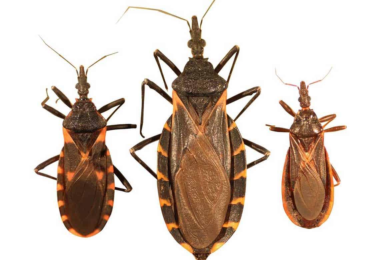 Клоп убийца – где обитает опасное насекомое, как он передает инфекцию | rvdku.ru