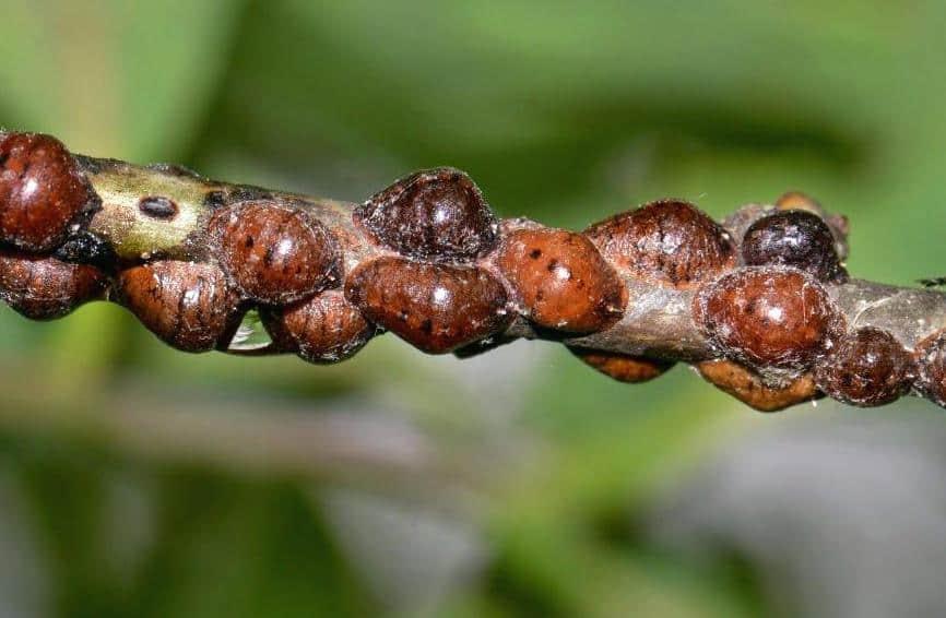 Опасна ли ложнощитовка? Отличие от истинной щитовки, обзор особенностей и способов борьбы с насекомым в домашних условиях