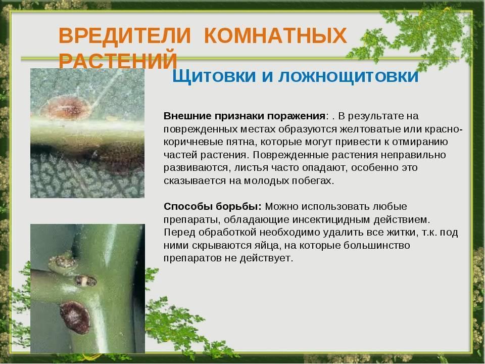 Щитовка на комнатных растениях: как избавиться от вредителя