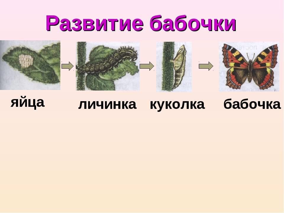 Волшебство в природе: как происходит развитие бабочки