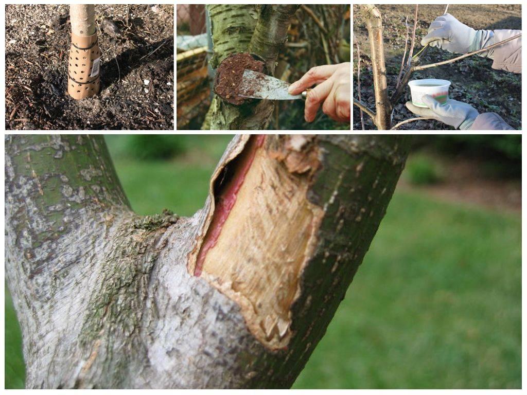 Что делать, если мыши погрызли кору яблони зимой: как спасти и вылечить ствол дерева (описание и видео)