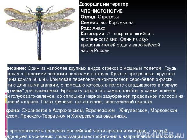 Стрекоза – виды и описание