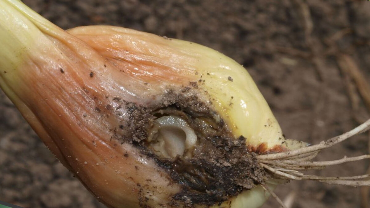 Обрабатываем лук от луковой мухи: 8 способов + советы