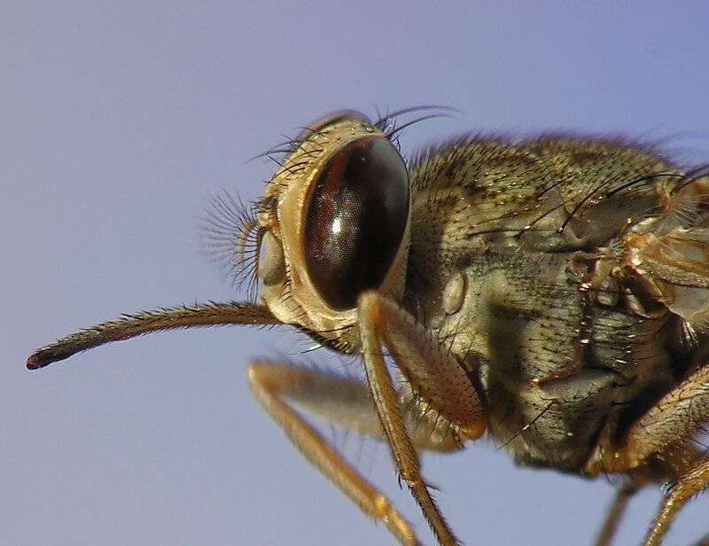 Муха цеце: чем опасен укус, какие болезни переносит и где обитает