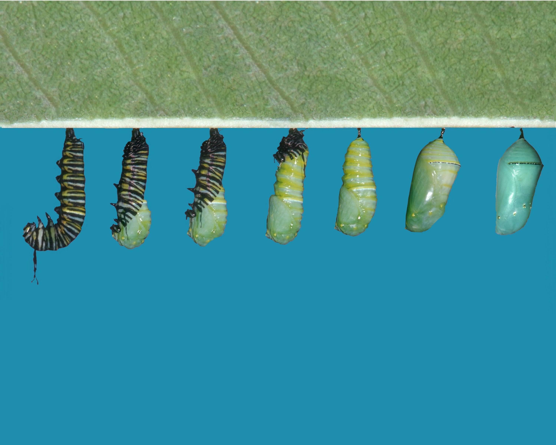 Метаморфоз бабочки - капустной белянки в умеренно - теплом климате