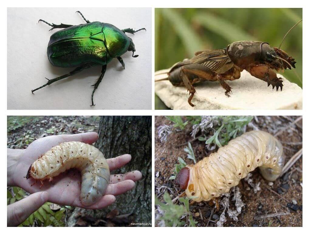 Личинка медведки: как выглядит насекомое, особенности внешнего вида