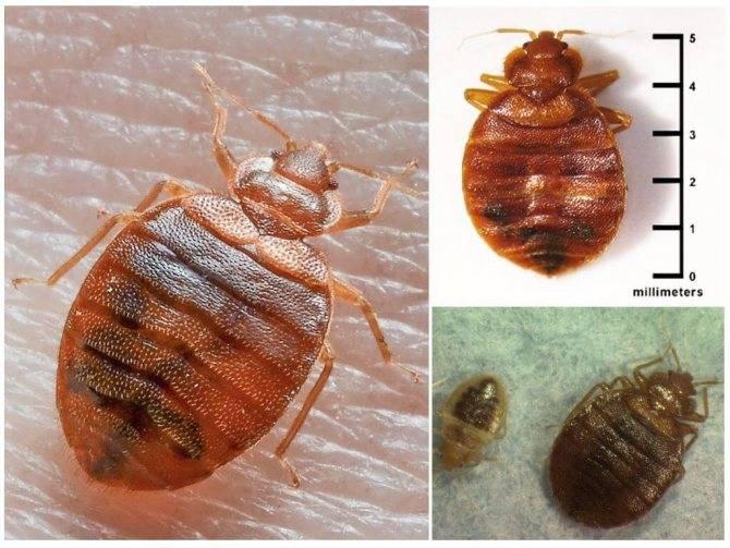 Как выглядят клопы: строение и фото насекомого, размеры постельной разновидности и их характеристики