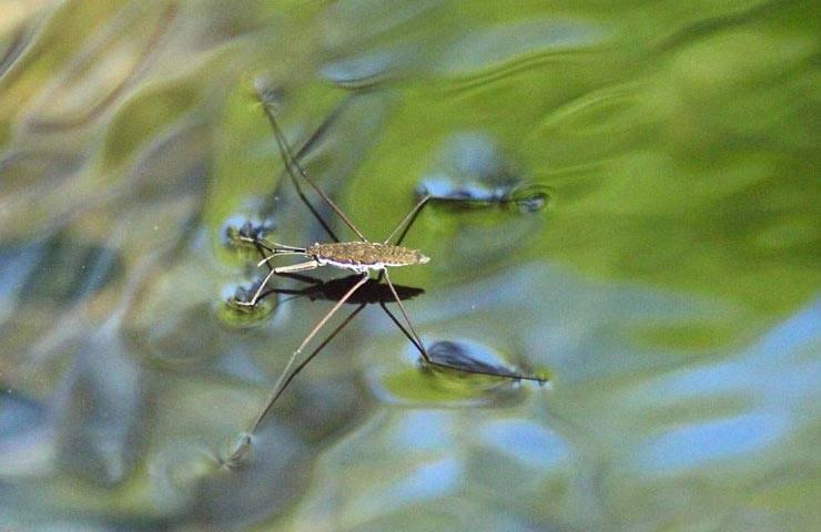 Поразительное насекомое — водомерка. клоп, покоривший три стихии