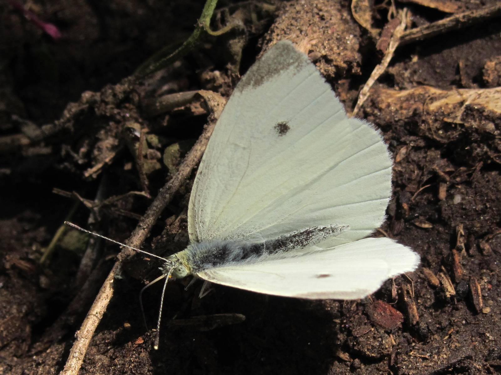 Как избавиться от бабочки капустницы