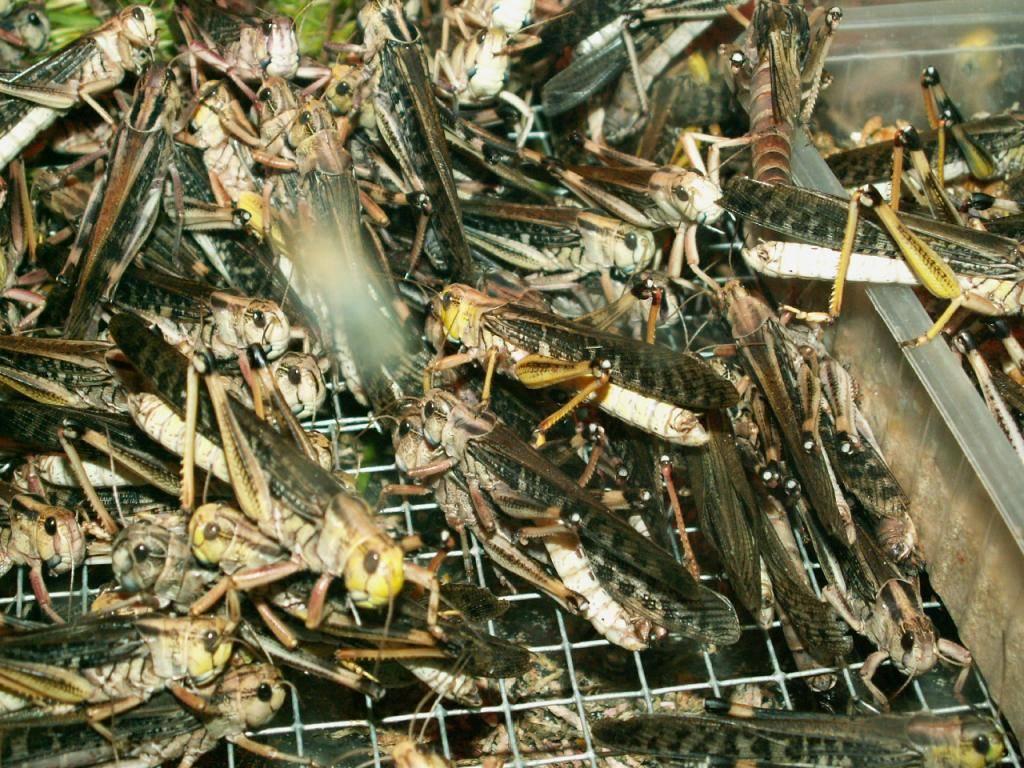 Меры борьбы с саранчой на огороде, на даче и на полях: как бороться в домашних условиях и не только?