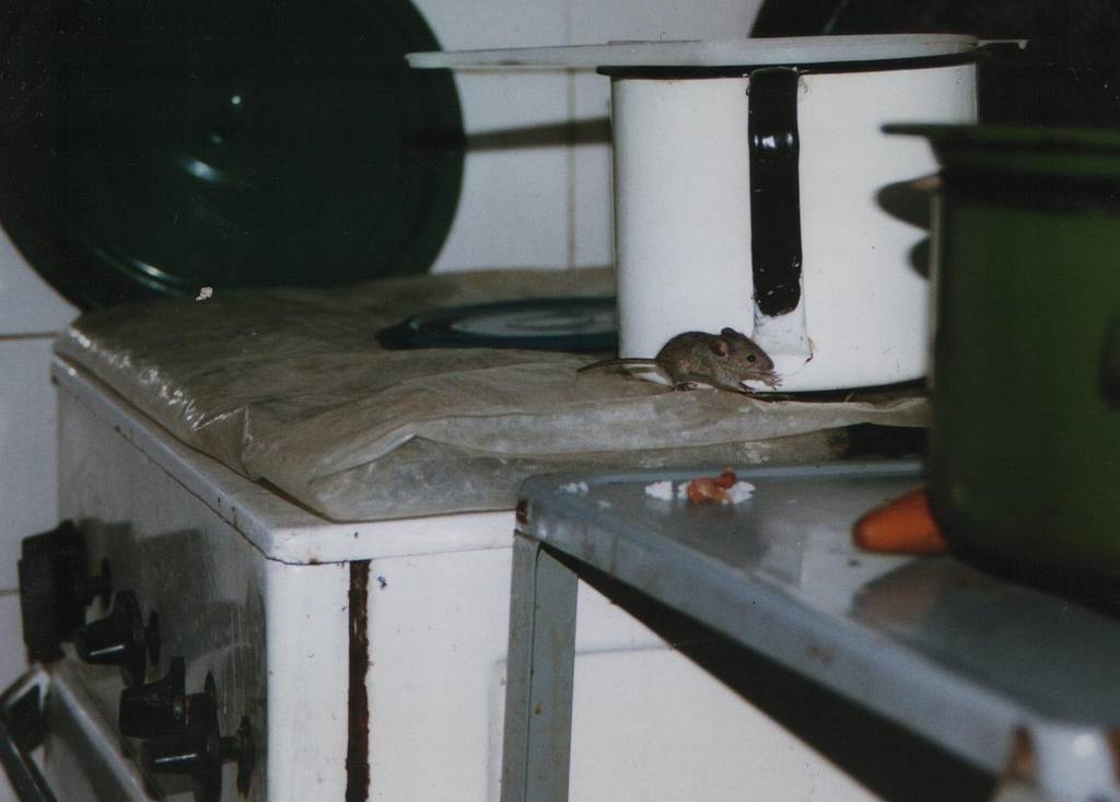 Способы выведения крыс из подвала