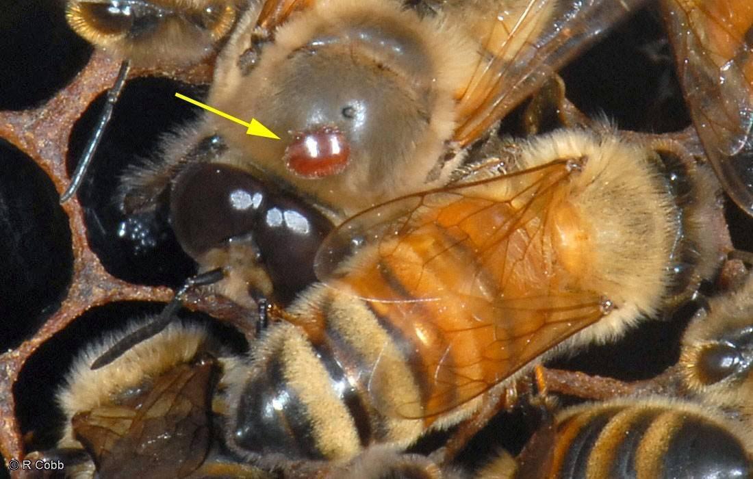 Паралич пчел признаки и лечение – советы начинающим пчеловодам