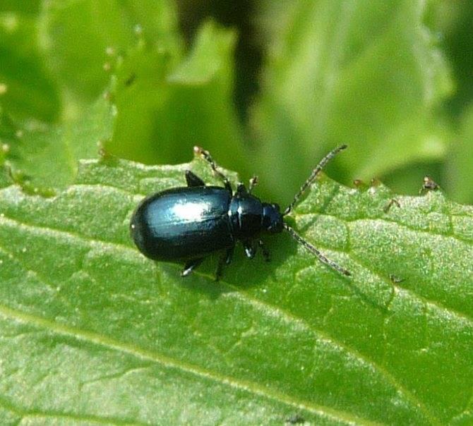 Что за вредитель — блошка? чем обработать капусту для уничтожения насекомого?