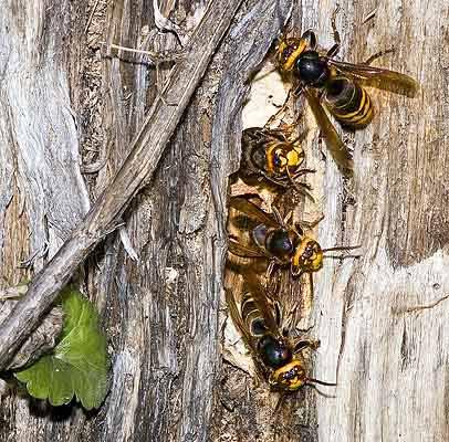Где зимуют осы, спят ли зимой или умирают? где зимуют осы, спят ли насекомые в холодный период года?