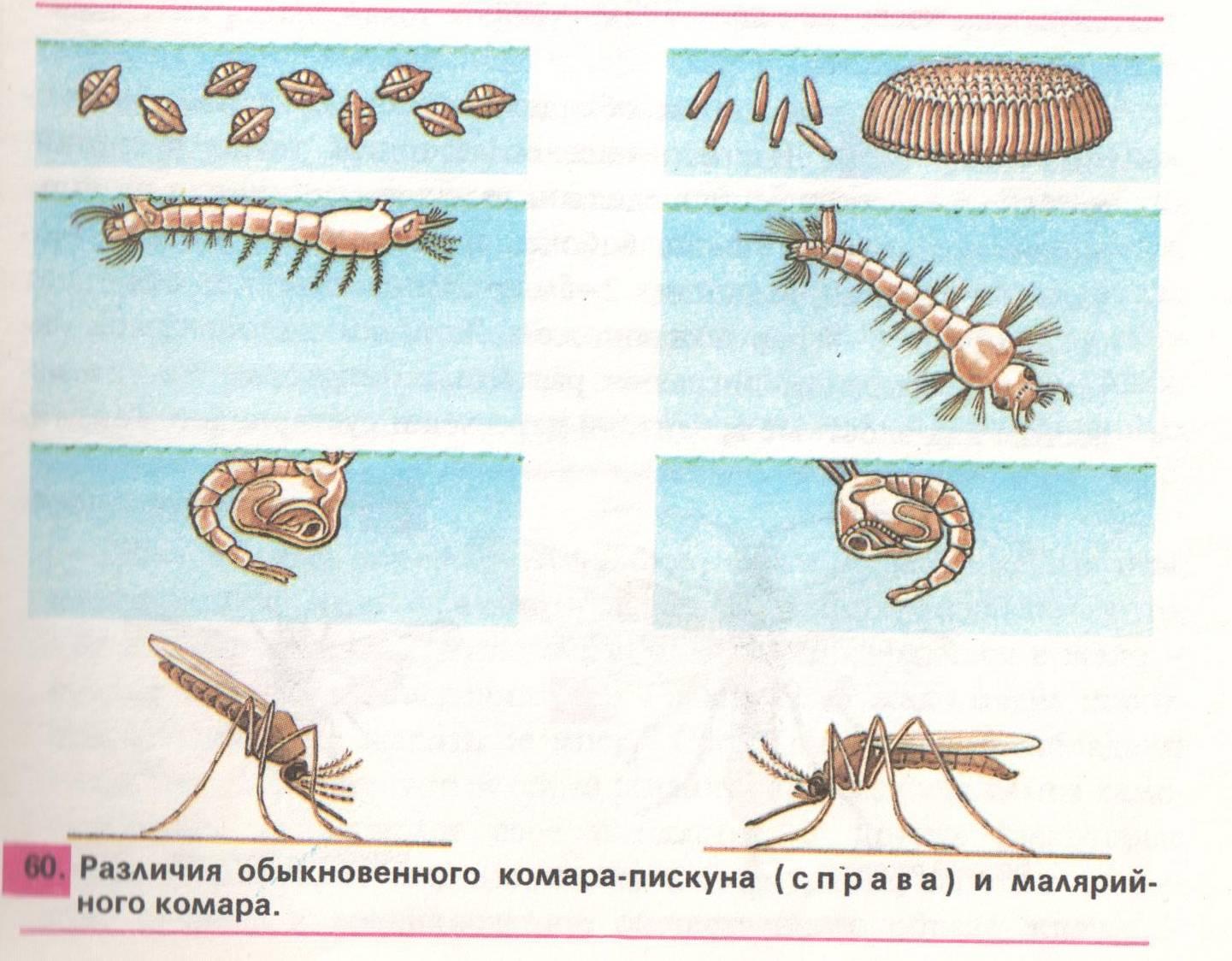 Сколько живут комары и как они размножаются