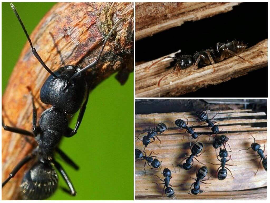 Как избавиться от муравьев в доме или квартире навсегда в домашних условиях