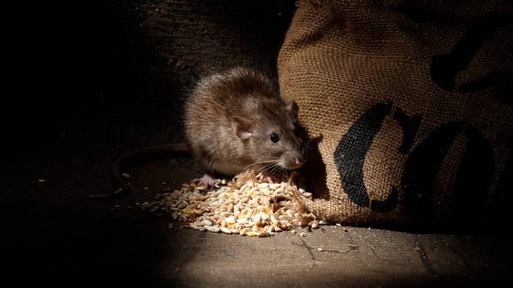 Как избавиться от крыс и чего они боятся: запахи, звуки, химические препараты