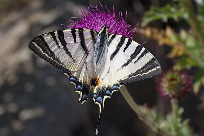 Бабочка махаон: описание внешности и окраса, особенности размножения и питания насекомого
