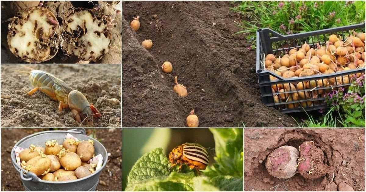Как избавиться от проволочника в огороде