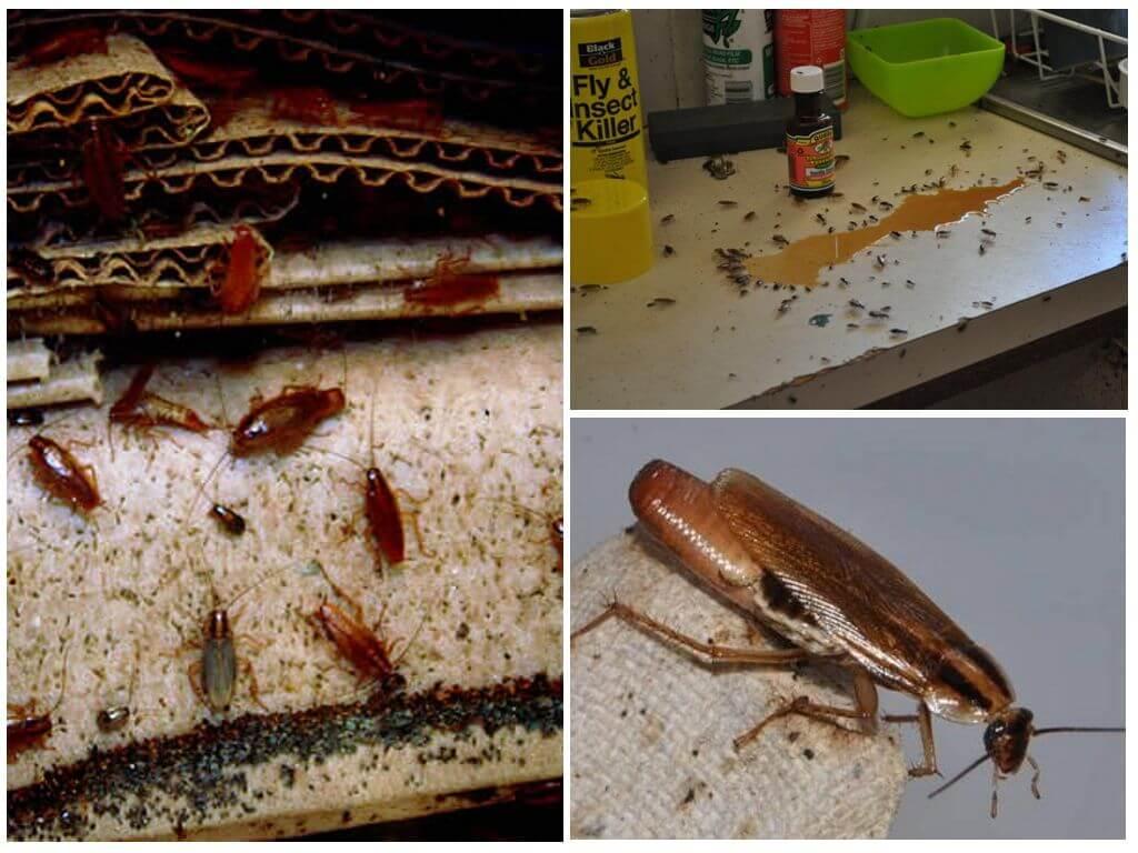 Народные средства от тараканов — методы борьбы в домашних условиях с помощью лаврового листа, уксуса и прочих средств