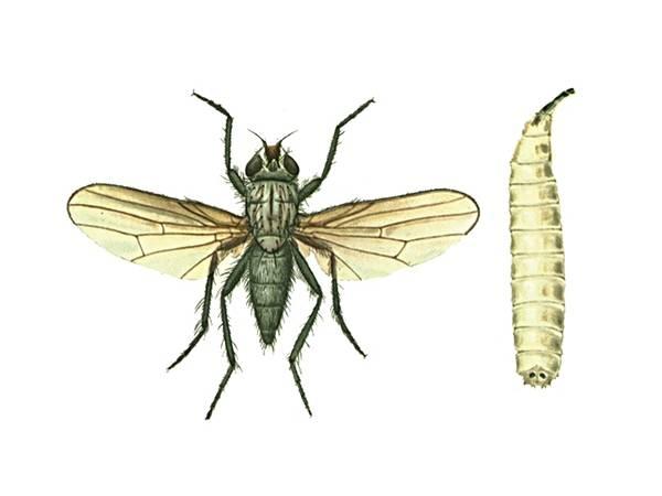 Как бороться с капустной мухой (летняя и зимняя): инсектициды и народные средства